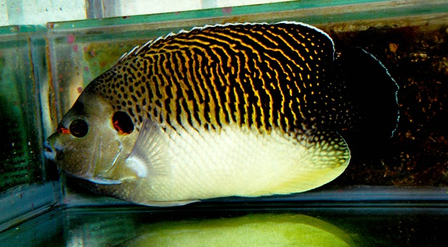Tiger Angelfish   Tiger Angelfish Apolemichthys Kingi Is Available Your Direct