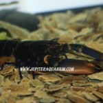 New Blue Papua Lobster